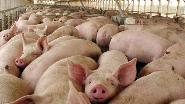 acuerdo porcino