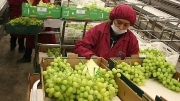 el Gobierno confirmó que volverá a exportar uvas a Brasil por 20 millones de dólares anuales.